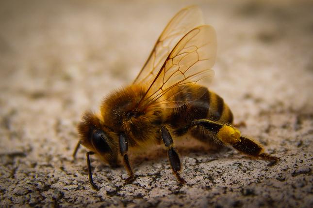 Včela medonosná - Apis mellifera