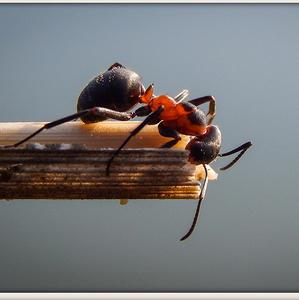 Mravec Lesný Veľký