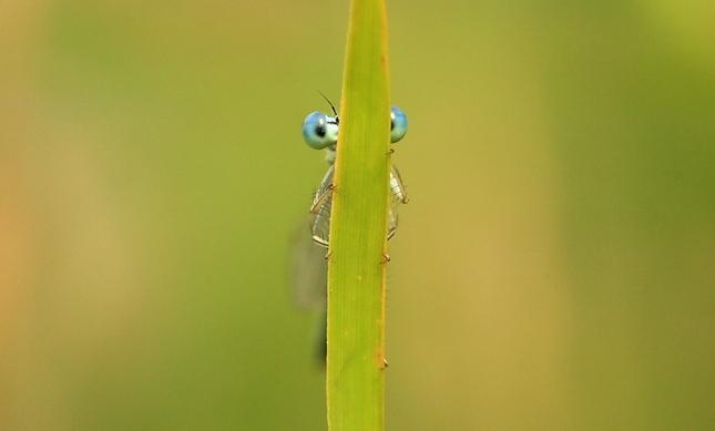 Skrývajúca sa vážka