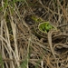 Jasterica kratkohlava