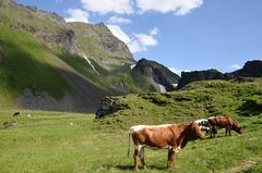 kravicky Milka v Alpach
