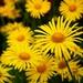 majove kvetinky