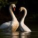 Labutia svadobná