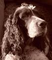 Psia víla - Kôročka