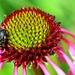 Hmyzia súlož