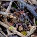 Mravec bojovník