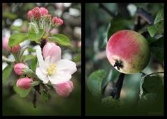 Rok jednej jablone