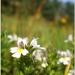 Na jesenných lúkach-Očianka rost