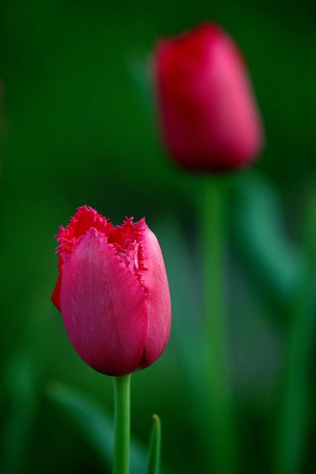 TulipI