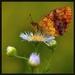 perlovec černicový (Brenthis dap