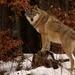 Canis lupus /Vlk dravý /