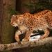 Rys ostrovid /Lynx lynx/