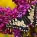 Vidlochvost feniklový /Papilio m