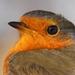 slávik červienka/Erithacus rubec