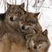 TRIO /Canis lupus / - Vlk dravý