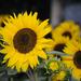 Sunflover