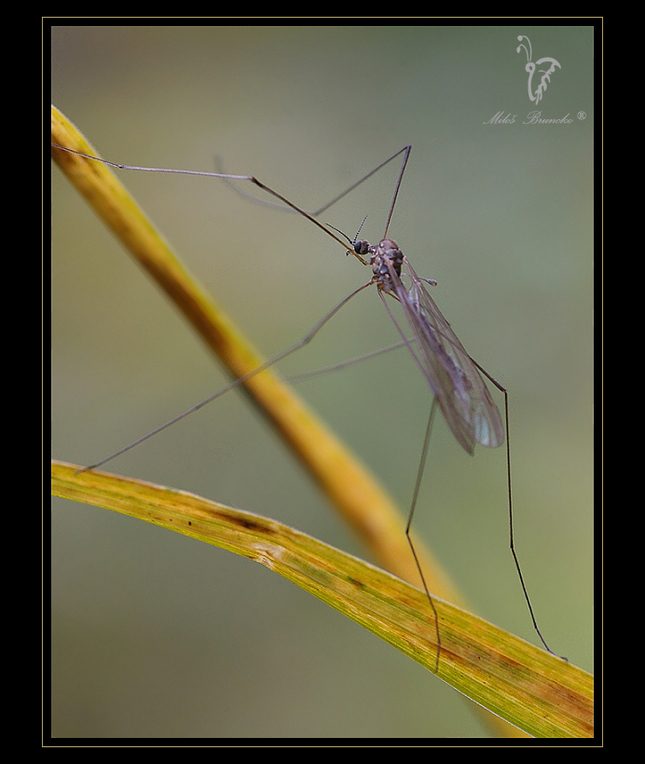 Komár gymnasta
