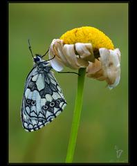 Motýlik s gorálkami