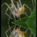 Pavúčik