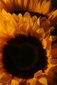 slnečnice