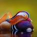 Mandarínska kačka