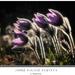 Jarné fialové kvietky