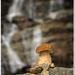 Hríb skalný tatranský