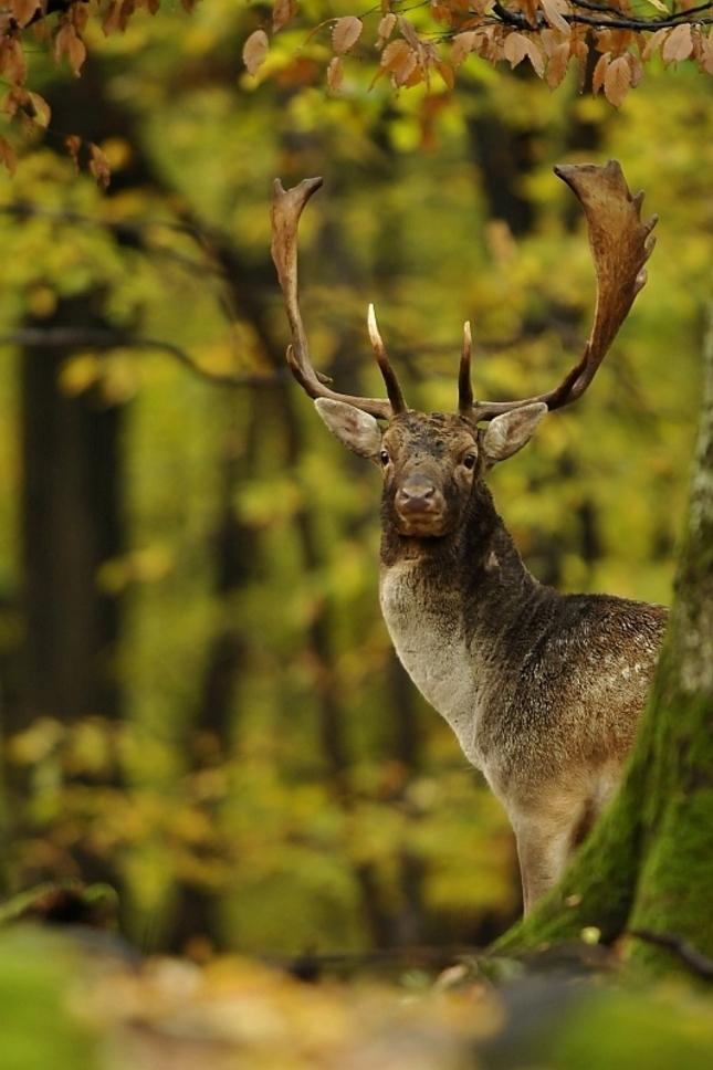 Spoza stromu - Daniel škvrnitý