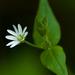 Malachium aquaticum