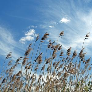 ...ako tŕstie vo vetre