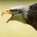 Orol bielohlavý