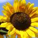 Slnko v kvete