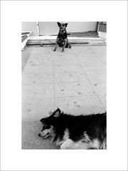 Grecki dingovia dvaja