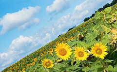 Crazy Sunflowers