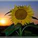 Sunsetflower II