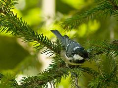 Sýkorka uhliarka (Parus ater)