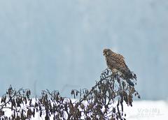 Sokol myšiar (pustovka)Falco tin