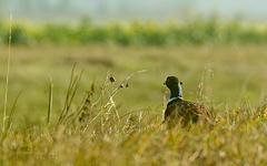 Bažant obyčajný (Phasianus colch