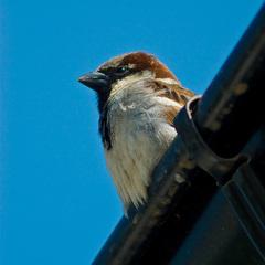 Vrabčiak rýnový  :-)