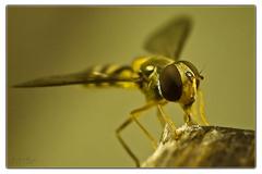 Pestrica pruhovaná(Episyrphus ba