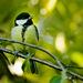 Sýkorka bielolíca (Parus major)