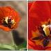 Tulip ZoomIN