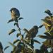Podvečerný snem vrabčiakov