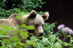 Medvedík lll