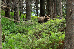 Medveď Vl