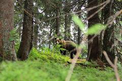 Medveď Vll