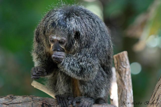 Opička mini