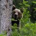 Medveď za stromom
