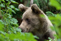 Medvedík ll