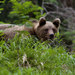 Medveď lV